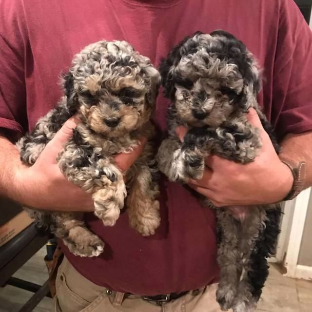 Beautiful Maltipoo Puppies For Adoption In Waco Texas Maltipoo Puppies For Sale Indianapolis In 11 In 2020 Maltipoo Puppy Maltipoo Puppies For Sale Toy Poodle Puppies