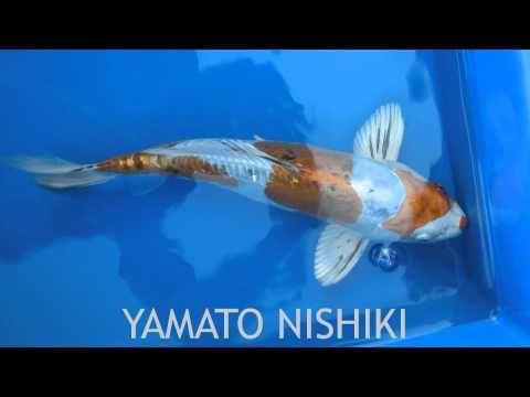 Koi Fish Varieties images to music. 3:34