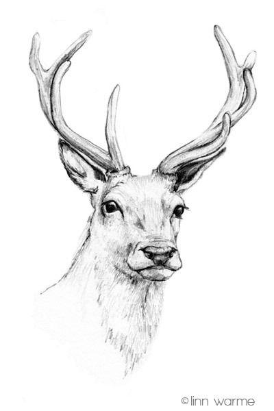 Linn Warme stag deer head antlers drawing