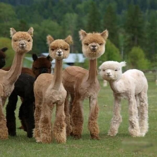 I thought they were cats or dogs at first, then I realized.... Shaved Llamas. I CANNOT STOP LAUGHING!