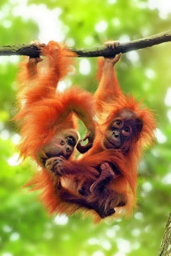two cute orangutan babies hanging