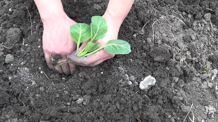 Посадка капусты: зола, микроорганизмы, высаживать с наклоном, поливать. Листья обработать хоз.мылом и присыпать пеплом.