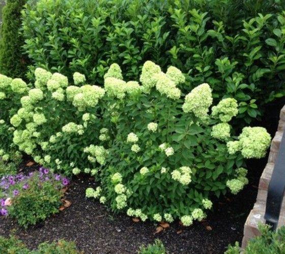 Best 25 limelight hydrangea ideas on pinterest hydrangea tree hydrangea paniculata and - Care potted hydrangea ...
