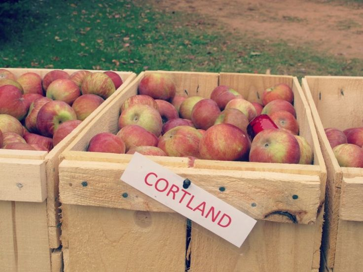 Apples at Olde Towne Orchard, PEI. A blog post by Sixtine et Victoire. http://sixtineetvictoire.com/apples/