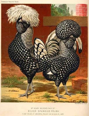 Vintage Silver-Spangled Polish Chicken image