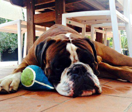 Ben: l'alimentazione corretta per un cane boxer