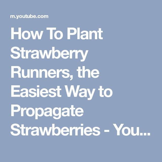 How To Plant Strawberry Runners, the Easiest Way to Propagate Strawberries - YouTube