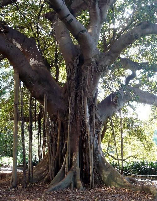Fig Tree ~ Royal Botanical Gardens, Sydney