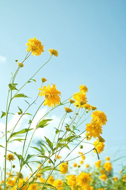 Yellow flowers 1 by chizu_ko, via Flickr: Summer Flowers, Yellow Flowers, Blue Sky, Gardens Flowers Of Yellow, Happy Colors, Summer Sky, Beautiful Flowers, Yellow Cottage, Summer Sun