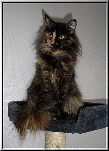 #MaineCoon #Black #Torty #Solid #Cats Pantahduc's Sifra P of Bojin
