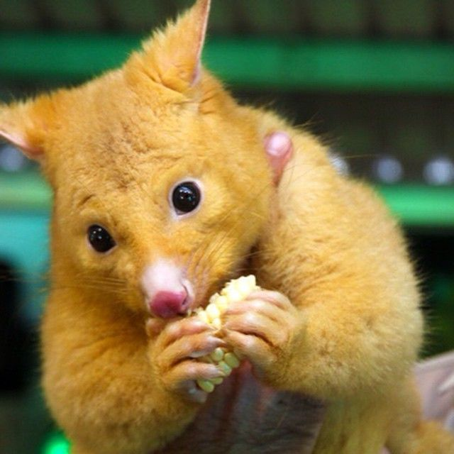 adorable golden brushtail possum - 640×640
