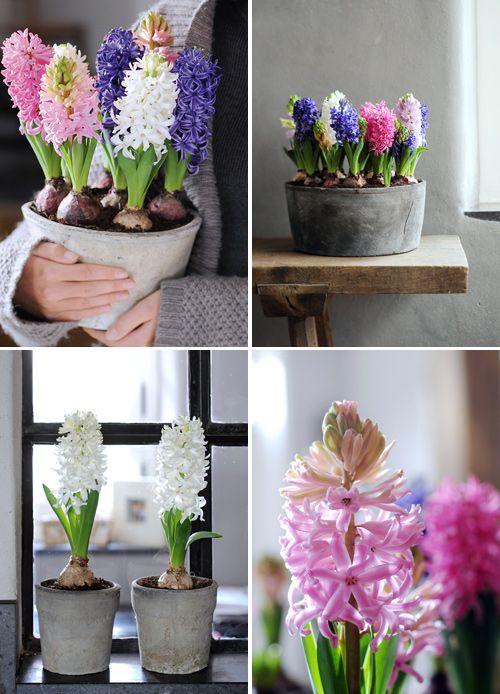 Jacinthes - www.maplanteetmoi.fr - Office Hollandais des Fleurs
