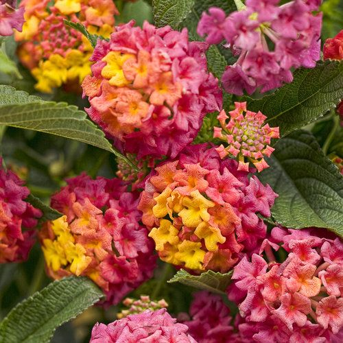 "Lantana 'Berry Blend' - Lantana can take the heat and is drought tolerant. Trailing habit 24-36""."