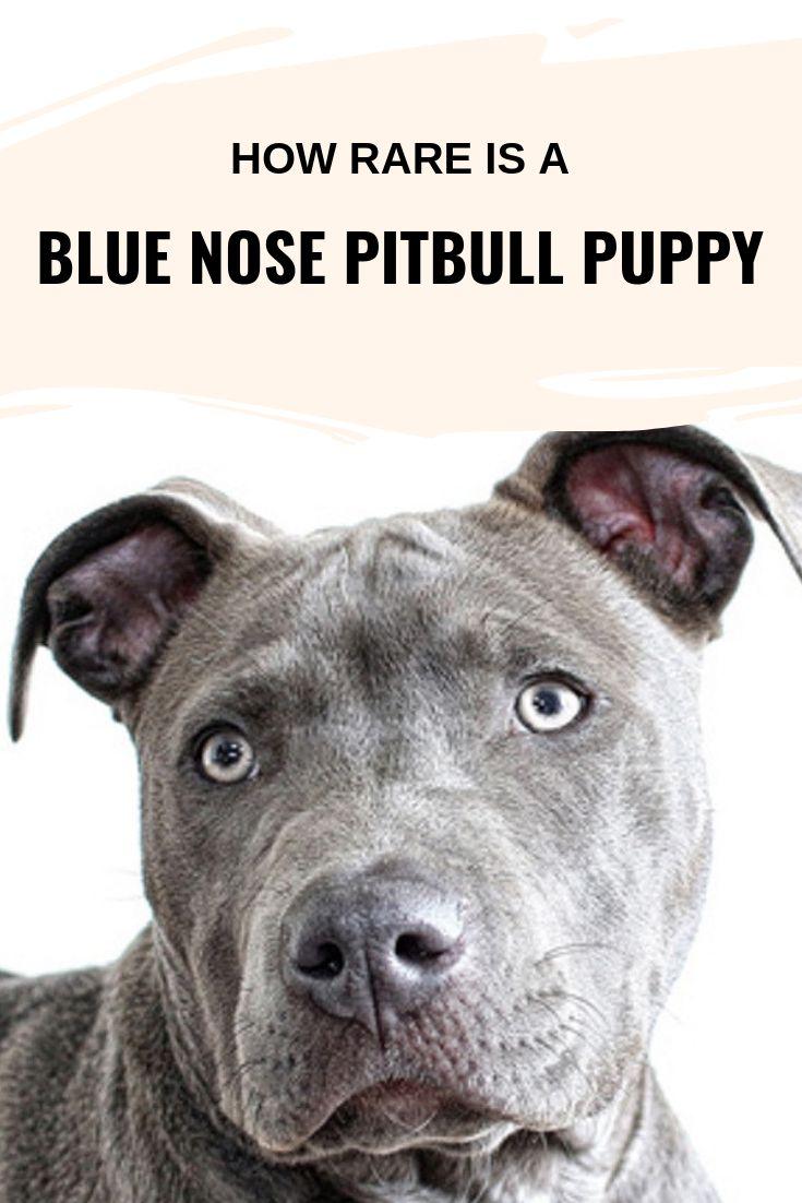 Wie selten ist ein Pitbull-Welpe mit blauer Nase?   – Dog Breeds