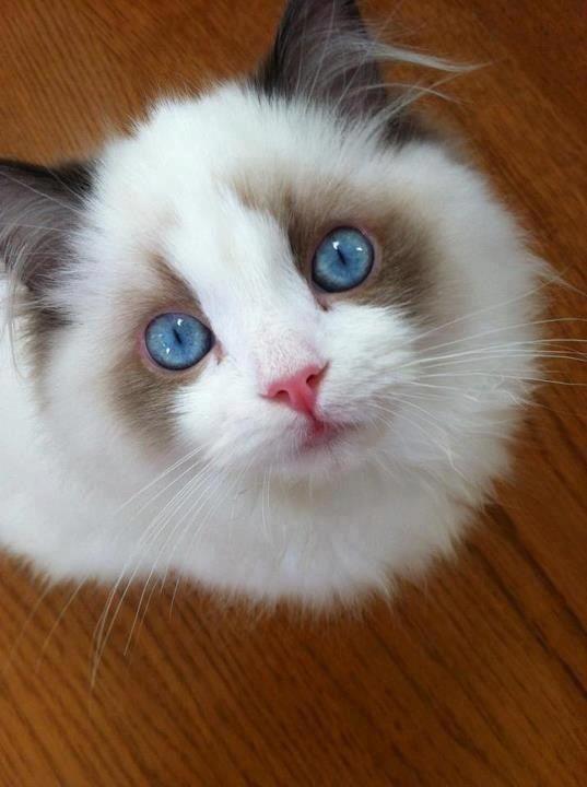 Blue Eyed Ragdoll Cat