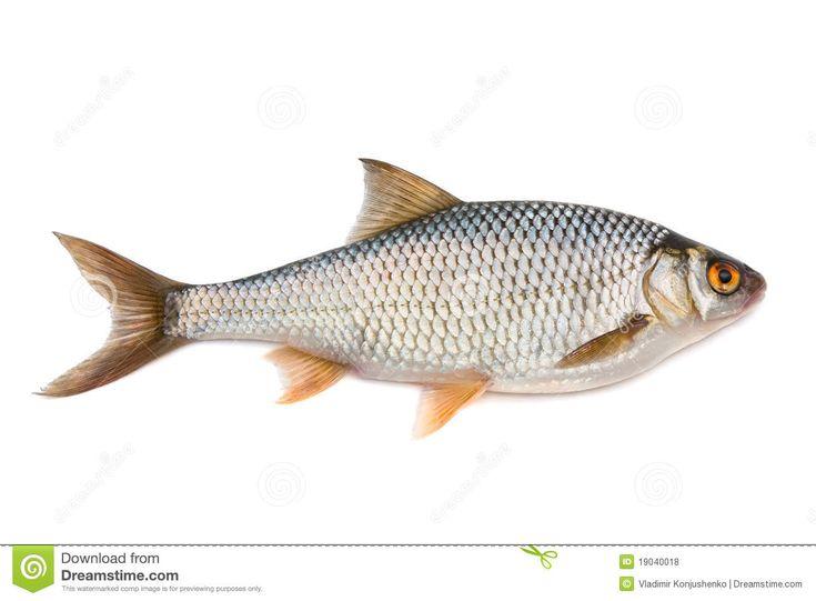 Voorn is een leuke vis om te vangen; beste aas is naar mijn mening een made of  kaster. Als voertaal is hennep prima. Veel gevangen op Europarcs De Rijp.