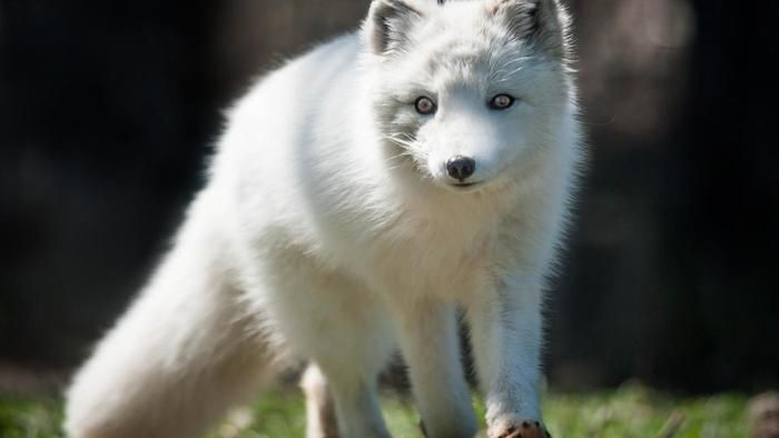 What do arctic foxes eat? | Reference.com