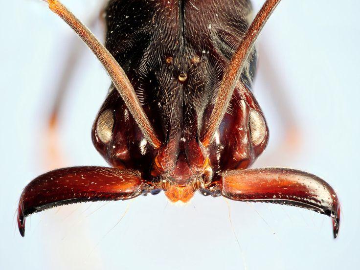 42 besten ant anatomy bilder auf pinterest ameisen anatomie und insekten. Black Bedroom Furniture Sets. Home Design Ideas