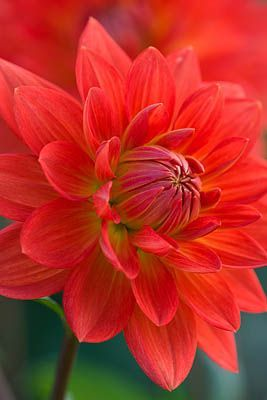 ~~Dahlia 'Taratahi Ruby'   Red Waterlily Dahlia - 4 to 6 inch blooms, 5 ft height   by Clive Nichols~~