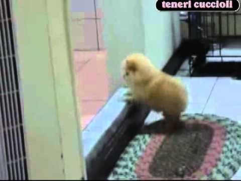 Dolcissimo cagnolino tenta di salire il gradino ma non ci riesce