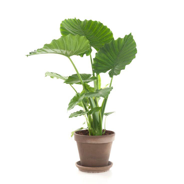 Deze prachtige groene kamerplant wordt ook wel Olifantsoor genoemd vanwege zijn grote bladeren. Daarnaast heeft de Alocasia een rustgevend effect.