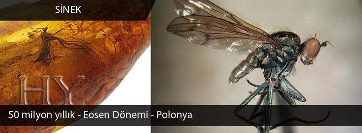 Sinek Fosili, Eosen Dönemi, 50 milyon yıl, Polonta