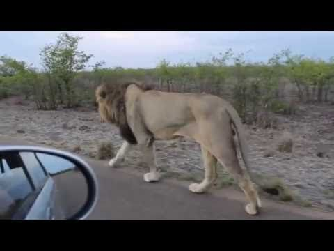 The king of the Jungle | Do not tease Asiatic Lion | Sasan Gir | Animals | Know Your Meme