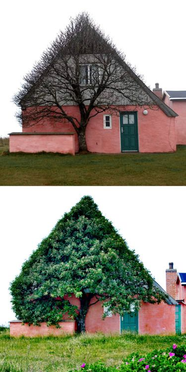 This old pink house is situated at the old dunes, a few hundred meters from the west coast, a very windy place were there isn't much that can grow. So the tree can only grow where it has shelter. It has looked this way always. - Marianne Kjølner    wow so cool