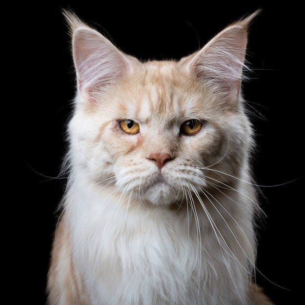 "Maine Coon: Among the largest of domesticated cats, the Maine Coon is characterized by their larger size, long silky fur, and bushy tail. Their nickname is the ""Gentle Giant"", because of their loving and docile demeanor. Maine Coons come in a variety of colorations."