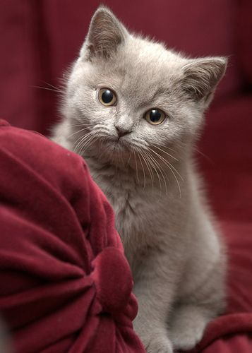 gray kitten :-)