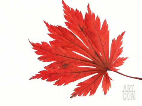 Japanese Maple Leaf in Autumn Colours Premium Poster by Petra Wegner at Art.com