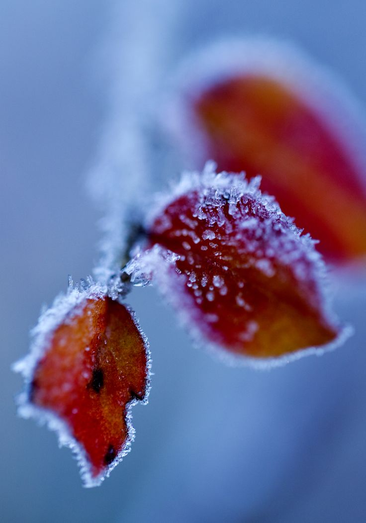 Frozen, red leaf. Captured one chilly Winter morning.