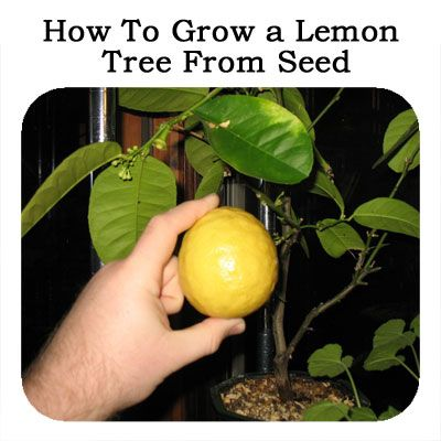how to grow a lemon tree from seed gardening pinterest