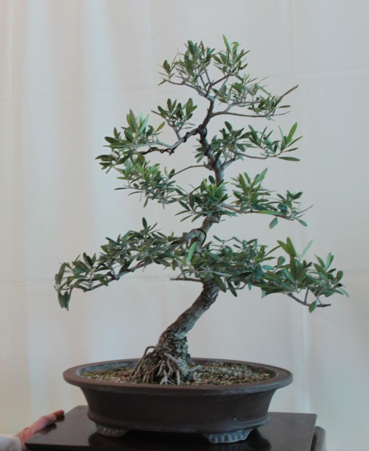 Olive bonsai olive bonsai olive bonsai tree bonsai for Growing olive trees indoors