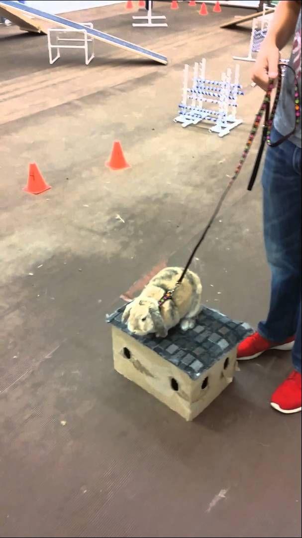 how to teach a rabbit tricks