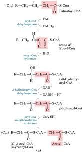pinterest ➸ radiants0l ❂ beta oxidation - HS-CoA comes in and extracts 2 carbons at a time forming Acetyl-CoA. The number of get n Acetyl-CoA for 2n carbon fatty acid. Get 5 ATP per round of Beta oxidation and 12 ATP per Acetyl-CoA going into TCA and ETC!!!