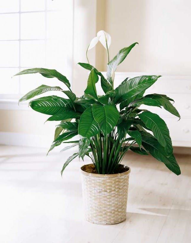 10 Houseplants That Actually Clean the Air You Breathe via Brit   Co