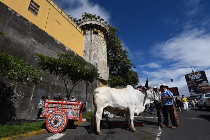 Oxcarts, oxen and boyeros traveled from rural areas all around Costa Rica to gather in downtown San José for the biggest oxcart parade in the country.