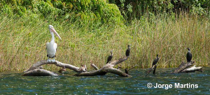 Pelican, Lake Barrine, Tropical North Queensland, Australia http://www.yourtrails.com.au/