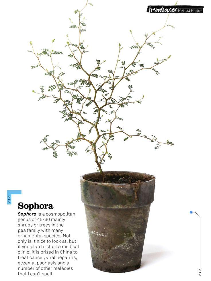 Sophora Plant Trendenser Se Nature Pinterest