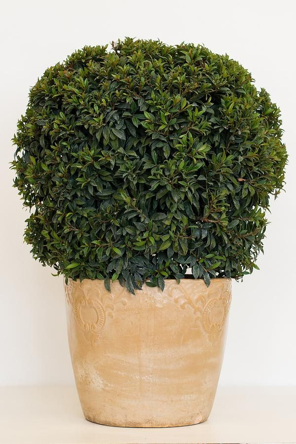 Eugenia topiary are shaped or trimmed in globe, spiral, pompom or multi-ball shapes. Dense evergreen foliage makes attractive hedge. Blooms small cream flowers then red berries.