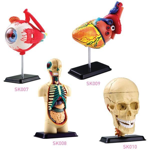 Купить Edu SK011 наука развивающие игрушки 4 в 1 модель анатомия ( глазное яблоко, Человеческое тело, В форме сердца и черепных нервов череп )и другие товары категории Конструкторыв магазине EDUCATIONAL SCIENCE TOYS FOR KIDSнаAliExpress. игрушки самолеты для продажи и игрушка черепаха