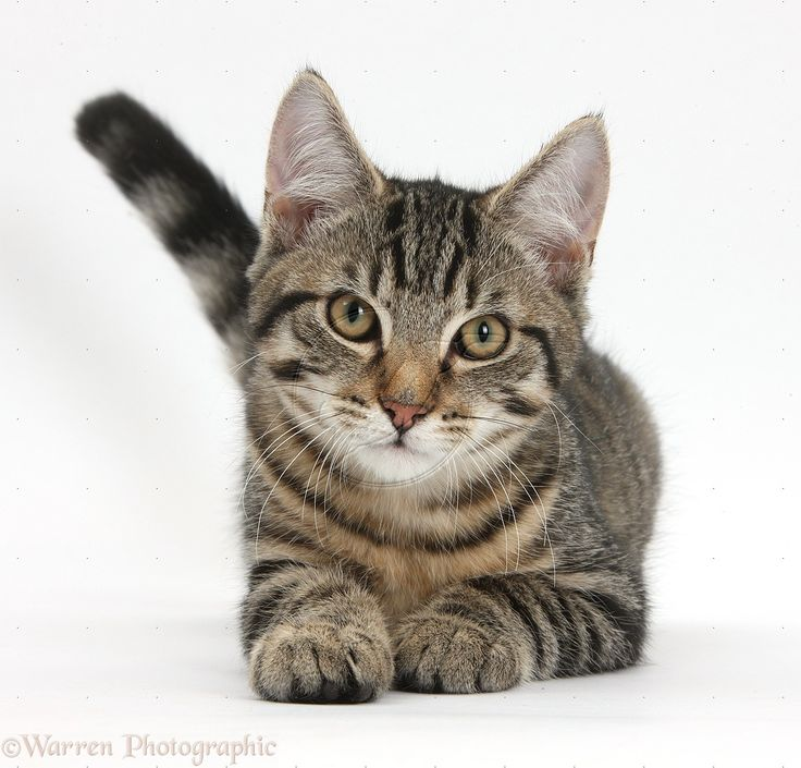 Tabby Cat With White Belly