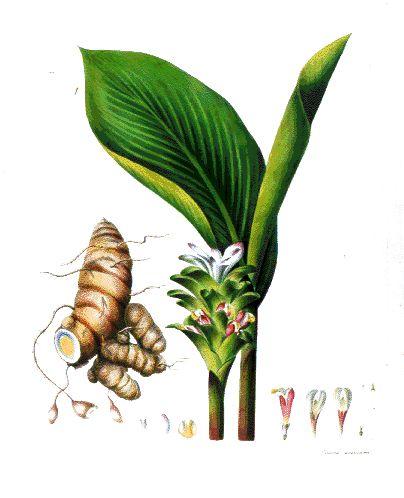 Botanical Drawing of Hawaiian Ginger