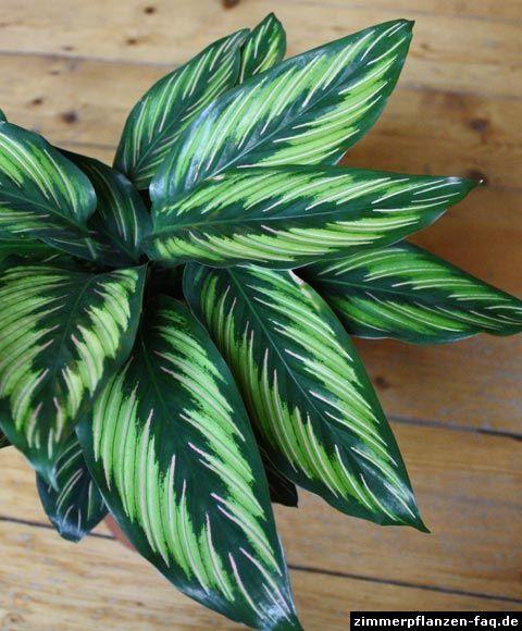 78 besten blumen calathea korbmarathe bilder auf - Coole zimmerpflanzen ...
