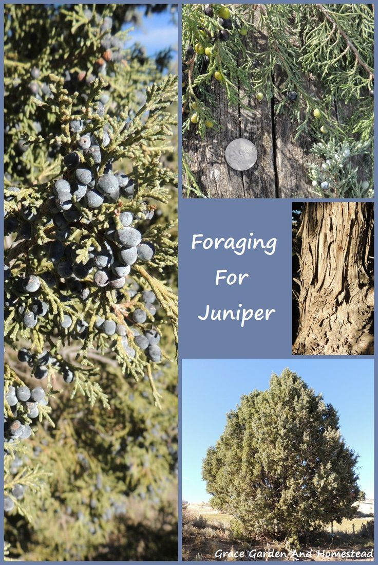 Foraging for Juniper. Which species of juniper and what parts of the tree are edible? Which other parts of these trees are used for other things as well.