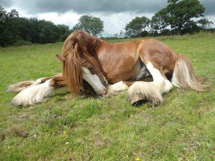 .harness carriage draft horse Gyspy Vanner belgian cob shire hafflinger fiord