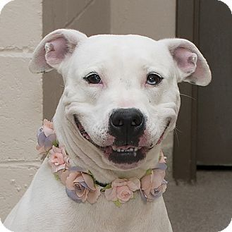 Troy, OH - Pit Bull Terrier Mix. Meet Marney AKA-Izzy, a dog for adoption. http://www.adoptapet.com/pet/16508325-troy-ohio-pit-bull-terrier-mix
