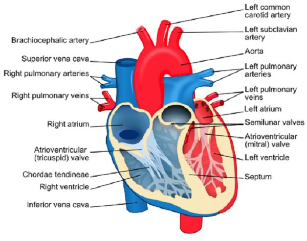 heart diagram children and human heart diagram on pinterest : heart system diagram - findchart.co