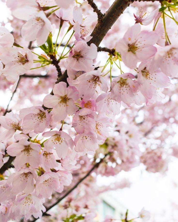 The University Of British Columbia Vancouver Canada Cherry Blossoms Nikon Corporation Orange Flower Photos Cherry Blossom Images Cherry Blossom Background